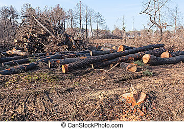 cutted trees - cut trunks of dead trees after the fire of...