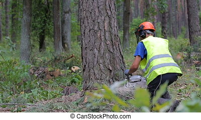 cutting down a tree with a chainsaw, tree falls down