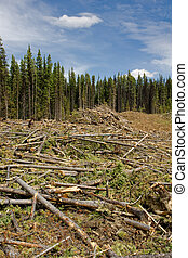 Sections of forest infested by the mountain pine beetle in British Columbia, Canada are clear-cut and burned.