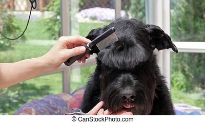 Cutting fringe of the dog
