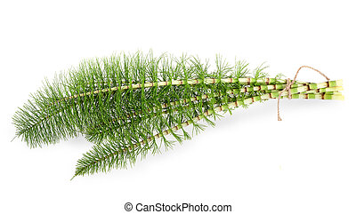 horsetail - Cutting horsetail plants isolated on white ...