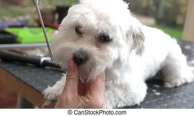 Cutting the hair of the white dog - Footage showing cutting...