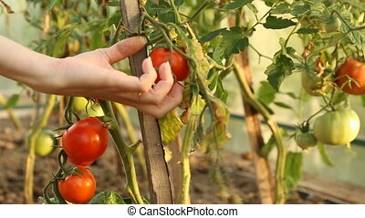 Cutting tomatoes in greenhouse