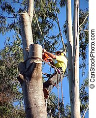 Man at top of tree cutting with chainsaw