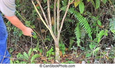 cutting tree - farm worker cutting small tree with machete