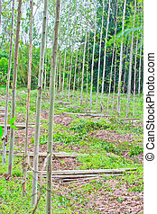 Cutting wood Eucalyptus trees Deforest