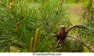 cutting young coniferous tree bad attitude to nature.