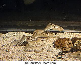 Cuttlefish close up. Underwater aquatic life