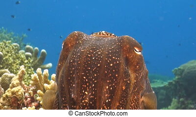 Cuttlefish on a coral reef
