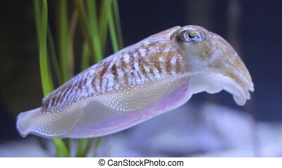 Cuttlefish swimming