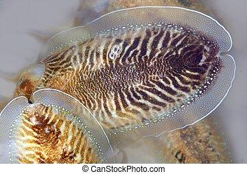 Cuttlefish uncooked a Mediterranean squid - Cuttlefish...