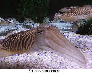 Cuttlefishes - Some different cuttlefishes at underwater, in...