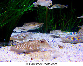cuttlefishes, submarinas