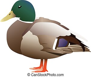 Cuty Duck - Very detailed vectorized green headed duck.
