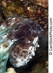 cyaneus), sea., arrecife, (octopus, pulpo, rojo