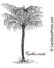 cyathea, vindima, botânico, gravura, crinita