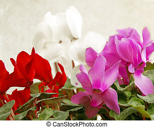 red, pink, white cyclamen flowers natural background
