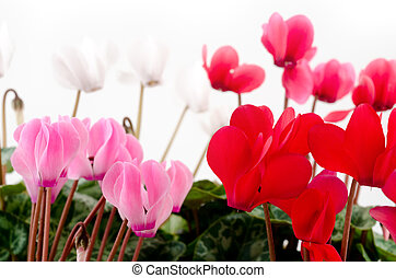 Four different colors cyclamen flowers in front of white