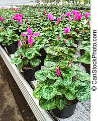 Cyclamen flowers in a garden center