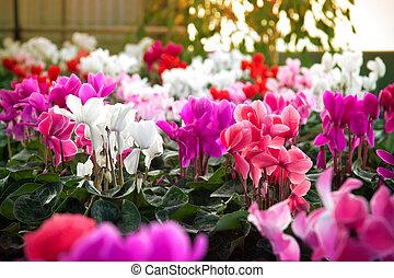 Cyclamen flowers in a greenhouse