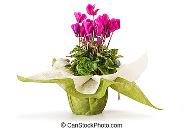 cyclamen flowers in vase isolated on white
