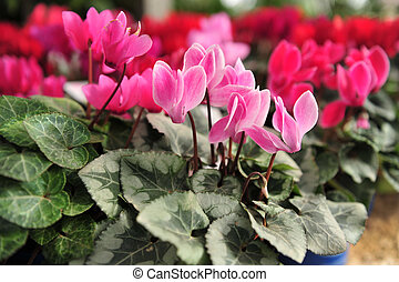 Pink and Purple Cyclamen flowers for sale
