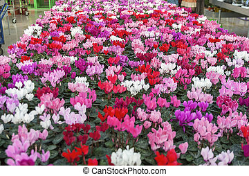 cyclamen in shop for greenhouse cultivation of indoor flowers