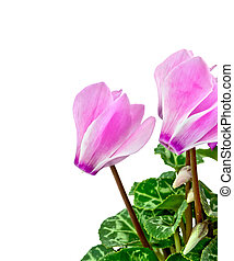 Cyclamen pink with leaves