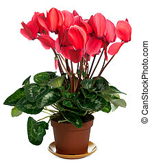 """Home plant """"Cyclamen persicum giganteum"""" isolated on white. Six shots stitch image."""