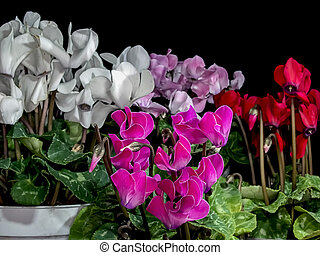 Cyclamen, red,( Black background)