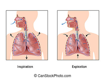 Cycle of breathing, eps10 - Cycle of breathing, inspiration...