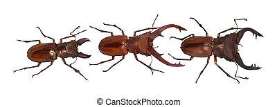 cyclommatus, collection., freigestellt, elaphus, white., ausschnitt, käfer, pfad