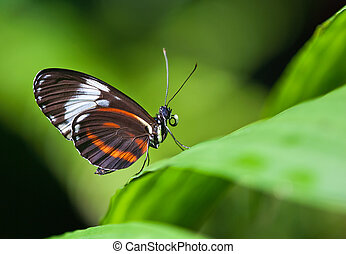 Cydno Longwing butterfly (Heliconius Cydno)