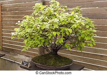 Cydonia oblonga - Bonsai commonly called quince cydonia ...