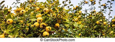 cydonia oblonga, quinces tree with blue sky, Panorama - ...