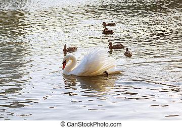 cygne blanc, flotter, sur, les, surface eau, de, les, rivière