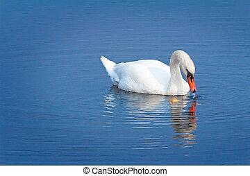 cygne blanc, sur, eau bleue, de, les, lake.