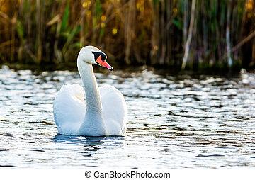 cygne blanc, sur, les, lac, water.