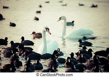 cygne, flotter, sur, les, eau, à, hiver, time.