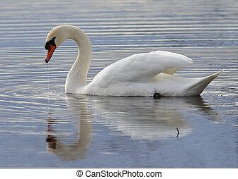 cygne muet, natation, sur, a, lac