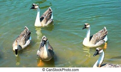 cygne, oiseau, animal, nature