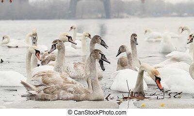 cygnes, hiver, sterne, oiseaux