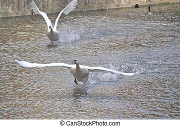 cygnes, partir, sur, eau
