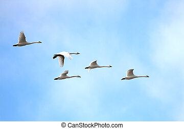 cygnes, printemps, toundra, (cygnus, columbianus), migrer