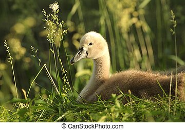 Cygnet resting on the grass in the morning.
