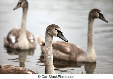 cygnet - swan screamer floating on the water