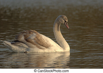 Cygnet - Young swan, cygnet, swimming in a pond on sunset