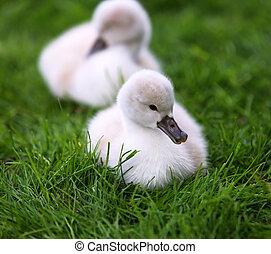 cygnets, 白い白鳥, 草