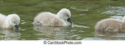 Cygnets are swimming in the water