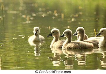 Cygnets - Young swans in a forest pond at dusk